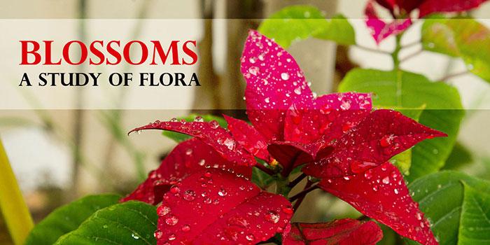06-Blossoms-Title